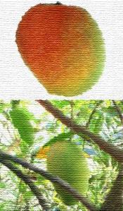Bombay Mangos