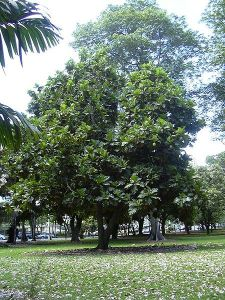 Breadfruit tree
